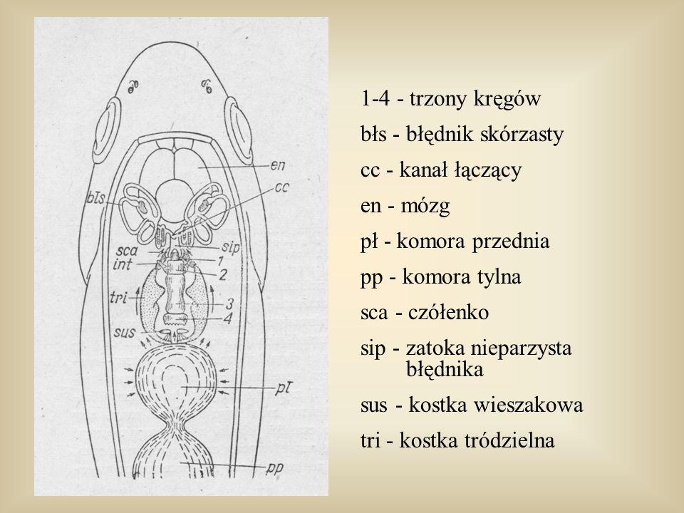 1-4 - trzony kręgów błs - błędnik skórzasty cc - kanał łączący en - mózg pł - komora przednia pp - komora tylna sca - czółenko sip - zatoka nieparzyst