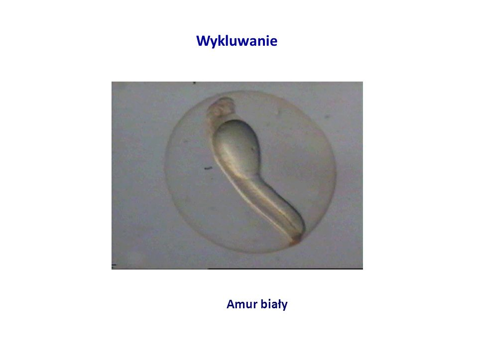 Amur biały Wykluwanie