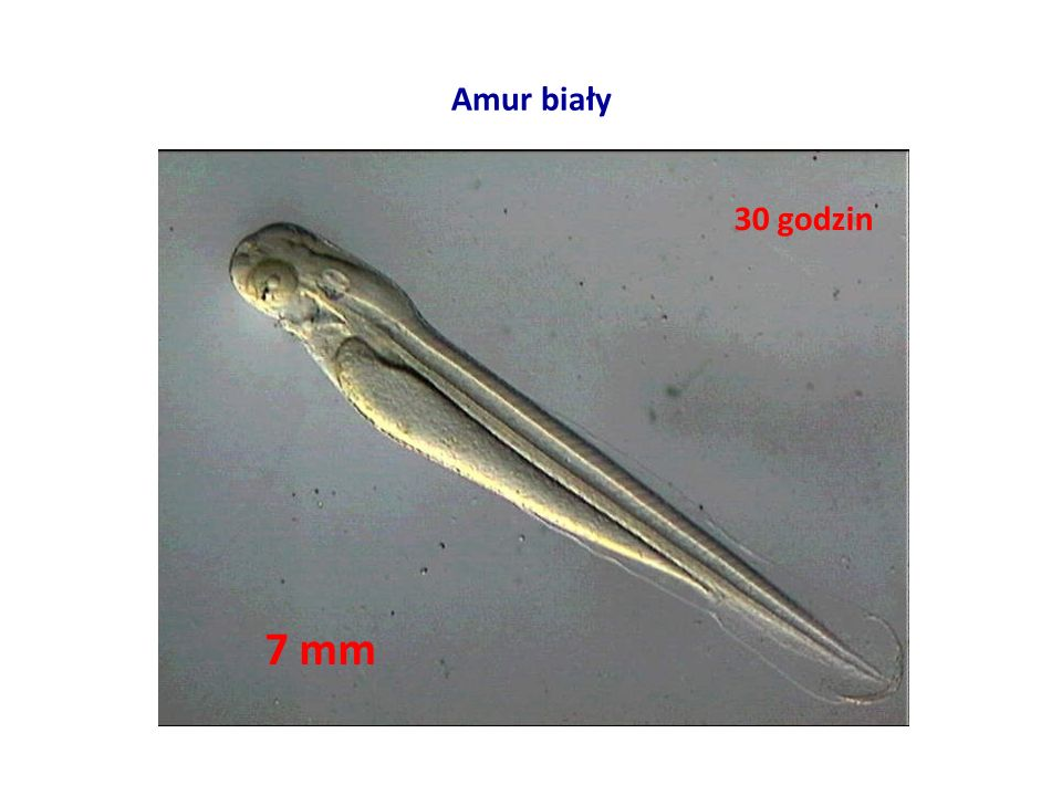 Amur biały 7 mm 30 godzin