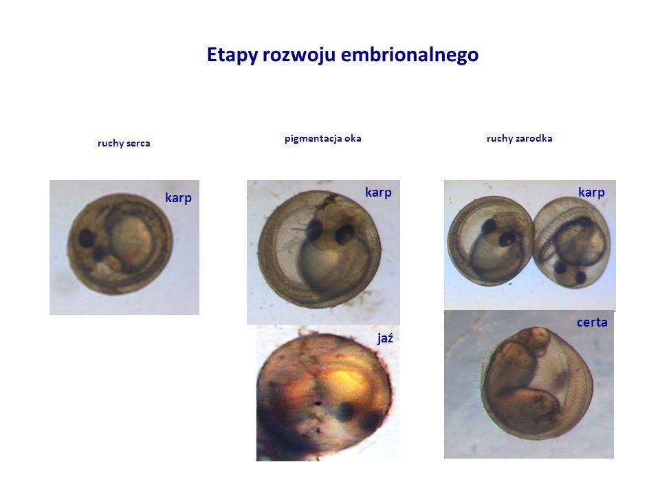 Etapy rozwoju embrionalnego pigmentacja okaruchy zarodka ruchy serca karp certa karp jaź