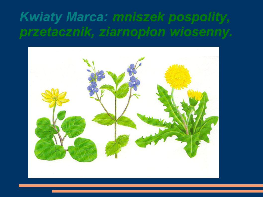 Kwiaty Marca: mniszek pospolity, przetacznik, ziarnopłon wiosenny.
