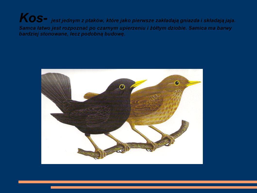 Kos- jest jednym z ptaków, które jako pierwsze zakładają gniazda i składają jaja. Samca łatwo jest rozpoznać po czarnym upierzeniu i żółtym dziobie. S