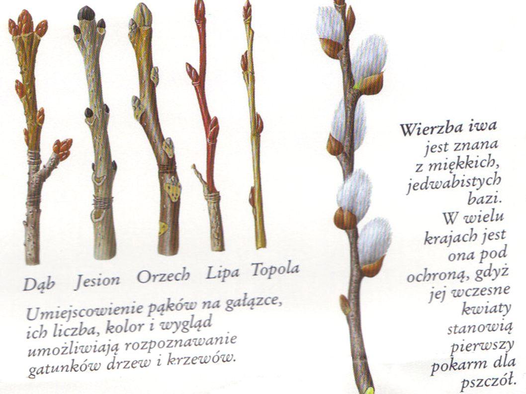 KWIECIEŃ WIOSNA ŚREDNIA TEMPERATURA: 7,5*C DZIĘŃ / NOC Roślinność rozwija się- młode listki zaczynają zielenić się na drzewach.