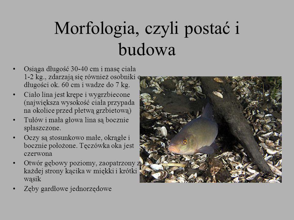 Morfologia, czyli postać i budowa Osiąga długość 30-40 cm i masę ciała 1-2 kg., zdarzają się również osobniki o długości ok. 60 cm i wadze do 7 kg. Ci