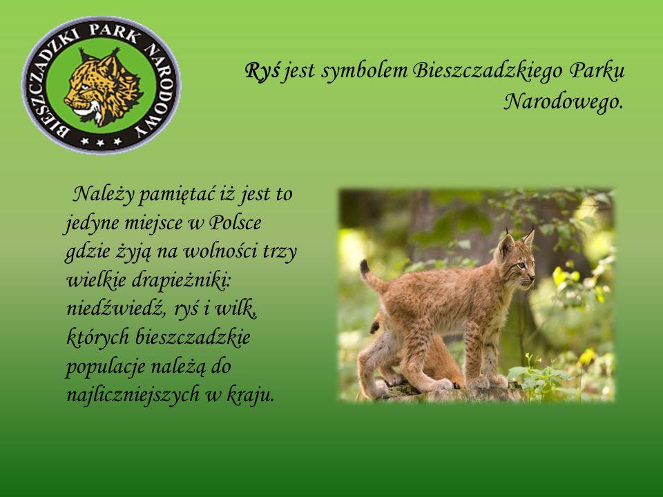 Ryś jest symbolem Bieszczadzkiego Parku Narodowego. Należy pamiętać iż jest to jedyne miejsce w Polsce gdzie żyją na wolności trzy wielkie drapieżniki