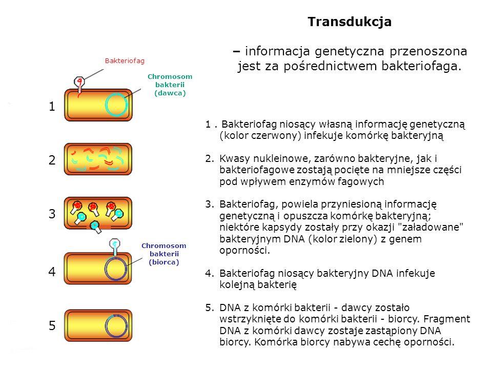Transdukcja – informacja genetyczna przenoszona jest za pośrednictwem bakteriofaga. 1. Bakteriofag niosący własną informację genetyczną (kolor czerwon