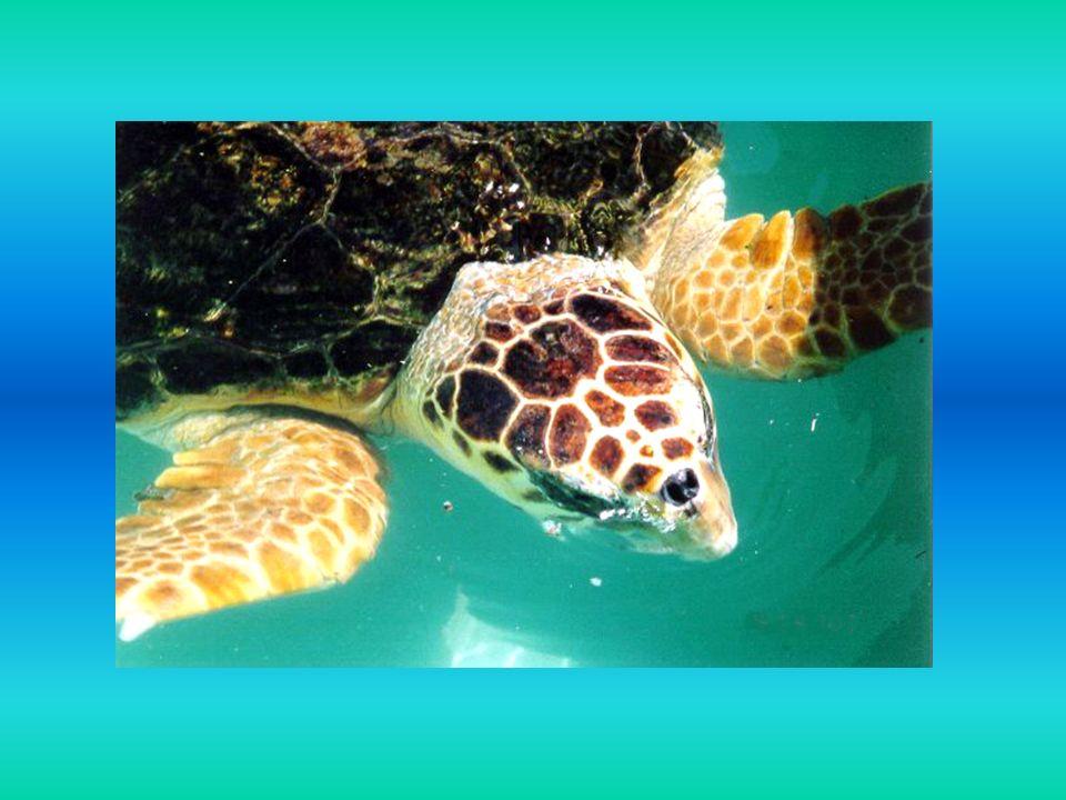 Ciekawostki żółwie morskie nie mają zębów dlatego używają potężnych dziobatych szczęk, aby rwać, gnieść i ciąć na strzępy pokarm mogą zanurkować nawet poniżej 1000 m i nie wypływać dla zaczerpnięcia oddechu do 3 godzin