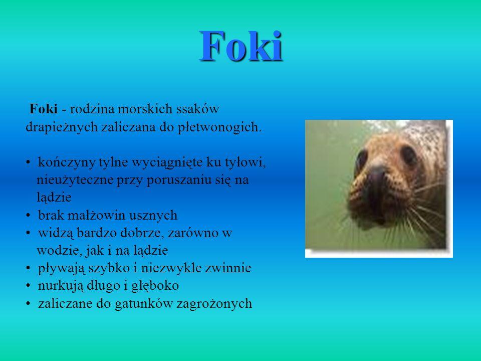 Foki - rodzina morskich ssaków drapieżnych zaliczana do płetwonogich. kończyny tylne wyciągnięte ku tyłowi, nieużyteczne przy poruszaniu się na lądzie