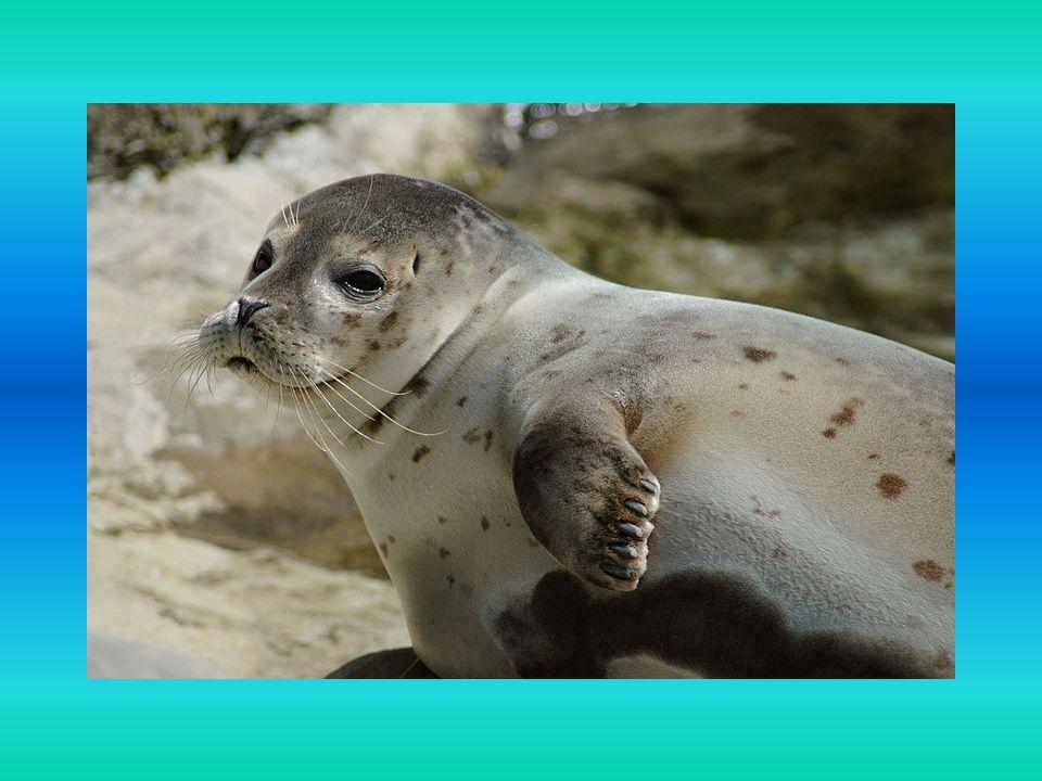 Ciekawostki Foka Depka urodzona w fokarium w mieście Hel jest jedyną dziko żyjąca foką szarą na polskim wybrzeżu.