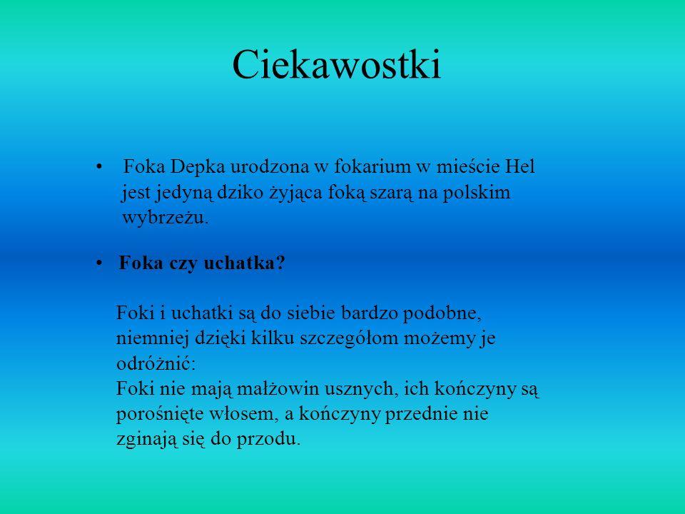 Ciekawostki Foka Depka urodzona w fokarium w mieście Hel jest jedyną dziko żyjąca foką szarą na polskim wybrzeżu. Foka czy uchatka? Foki i uchatki są