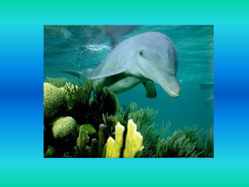 W odróżnieniu od ryb delfin oddycha powietrzem na powierzchni - pod wodą może przebywać bez nabrania tchu do 15 minut, następnie musi się wynurzyć, inaczej - udusiłby się.
