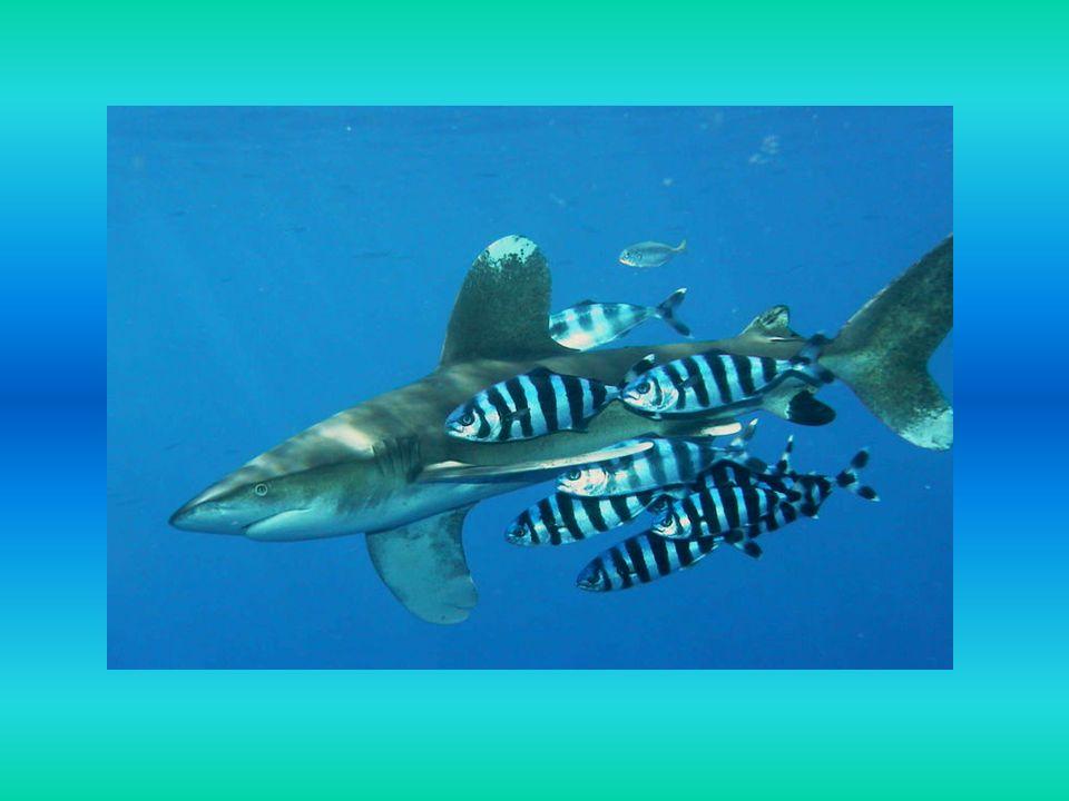 Ciekawostki rekiny widzą w ciemnościach 10-krotnie lepiej niż człowiek mają największe mózgi wśród ryb i dysponują zmysłami: wzroku, węchu, słuchu, smaku i dotyku