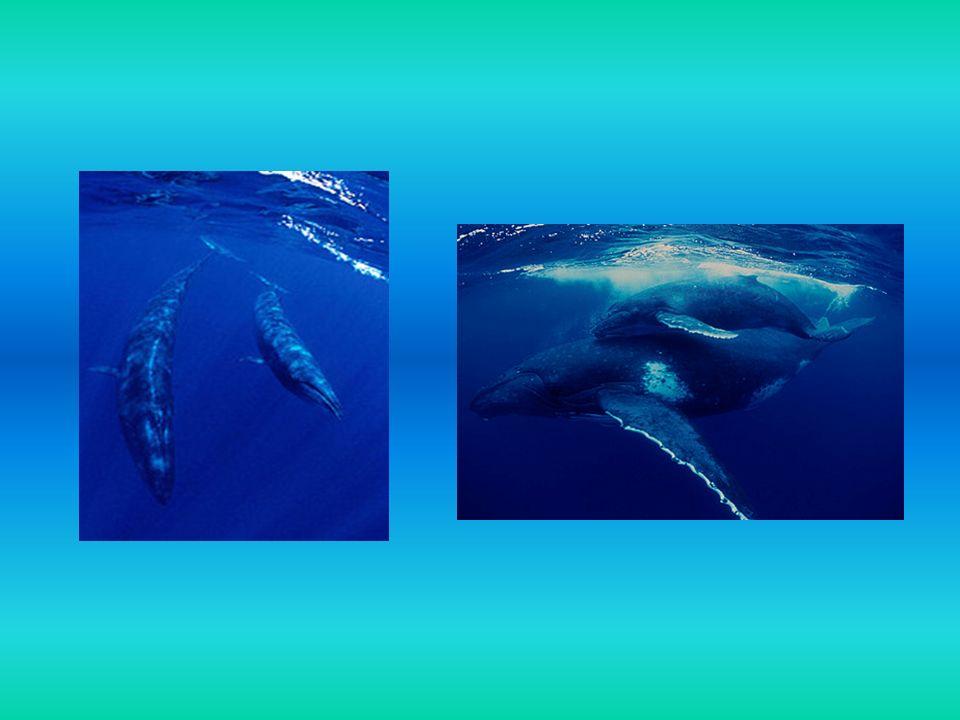 Największym zwierzęciem, jakie kiedykolwiek istniało na Ziemi, jest płetwal błękitny, spośród nich największy mierzyły prawie 33 metry długości, osiągając wagę ponad 150 ton.
