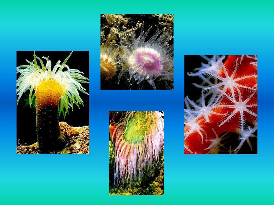 Rozgwiazdy Rozgwiazdy - grupa zwierząt o ogromnej różnorodności barw, kształtów i rozmiarów morskie drapieżniki bardzo powolne, pełzają leniwie, wypatrując zdobyczy poruszają się za pomocą nóżek ambulakralnych żyją na dnie mórz i oceanów na głębokości od 0,5 do 300 m żywią się padliną, mułem dennym
