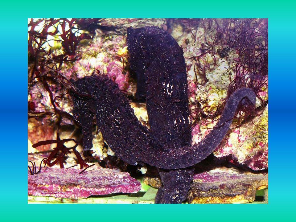 Ciekawostki Koniki morskie są rybami bardzo nietypowymi: posiadają chwytny ogon, którym potrafią zaczepiać się o wodorosty ich oczy mogą poruszać się niezależnie od siebie, tak jak u kameleonów pływają w pozycji pionowej samce posiadają torbę brzuszną, w której trzymają jajeczka złożone przez samicę
