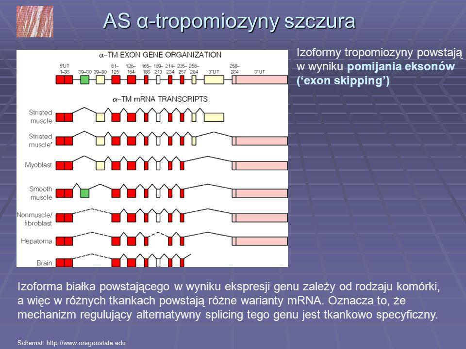AS α-tropomiozyny szczura Izoforma białka powstającego w wyniku ekspresji genu zależy od rodzaju komórki, a więc w różnych tkankach powstają różne war