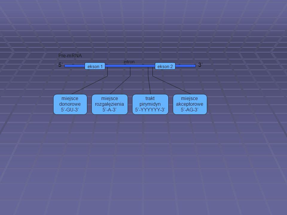 miejsce akceptorowe 5-AG-3 ekson 1ekson 2 intron 53 Pre-mRNA miejsce donorowe 5-GU-3 trakt pirymidyn 5-YYYYYY-3 miejsce rozgałęzienia 5-A-3