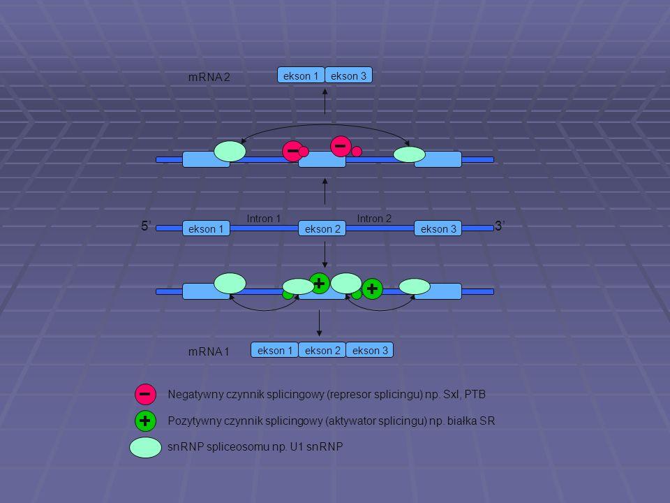 ekson 1ekson 2 Intron 1 5 3 ekson 3 Intron 2 ekson 1ekson 2ekson 3 ekson 1ekson 3 mRNA 1 mRNA 2 Negatywny czynnik splicingowy (represor splicingu) np.