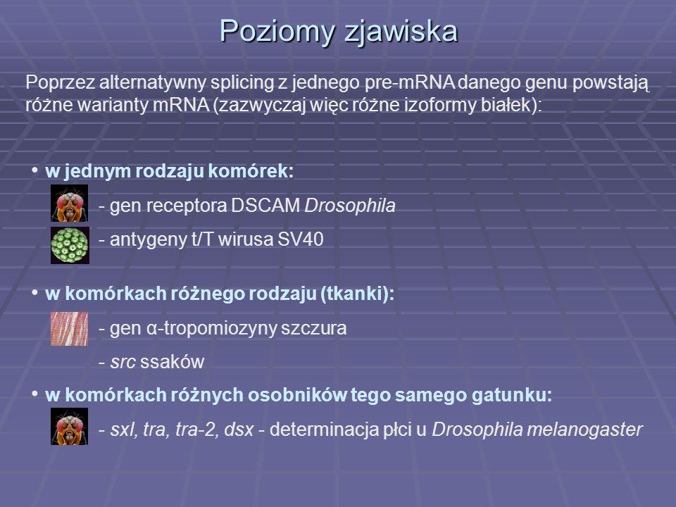 Poziomy zjawiska Poprzez alternatywny splicing z jednego pre-mRNA danego genu powstają różne warianty mRNA (zazwyczaj więc różne izoformy białek): w j