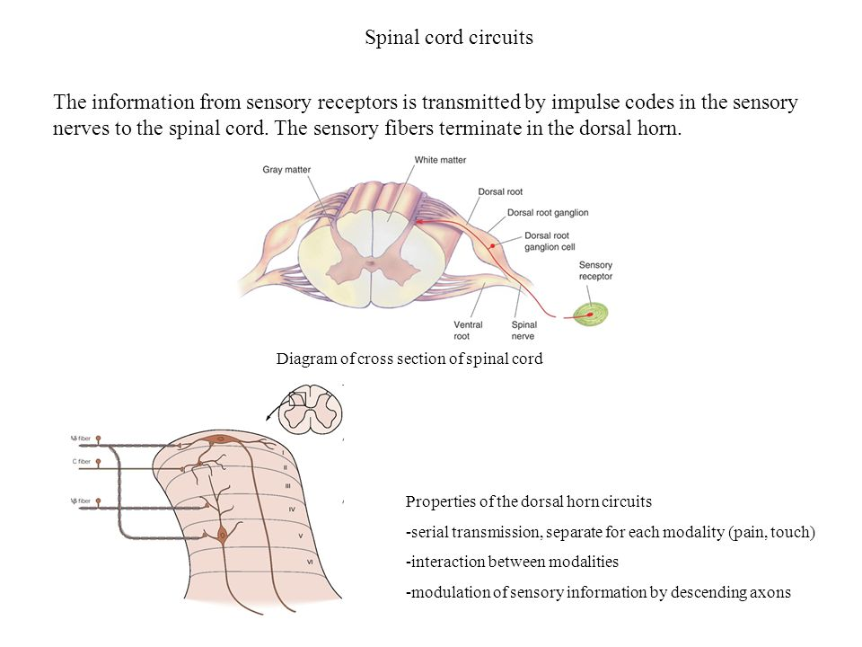 Spinal cord circuits Properties of the dorsal horn circuits -serial transmission, separate for each modality (pain, touch) -interaction between modali