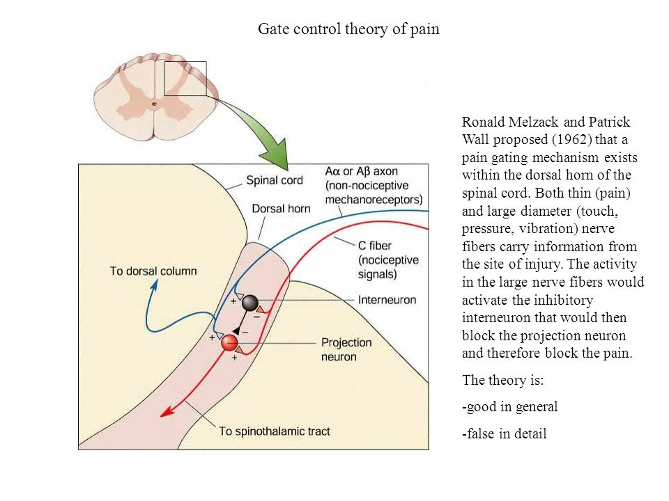 Gate control theory of pain Ronald Melzack and Patrick Wall proposed (1962) that a pain gating mechanism exists within the dorsal horn of the spinal c