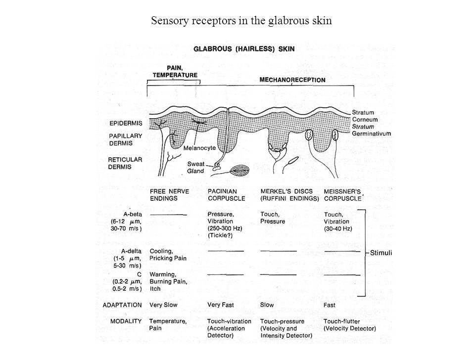 Sensory receptors in the hairy skin