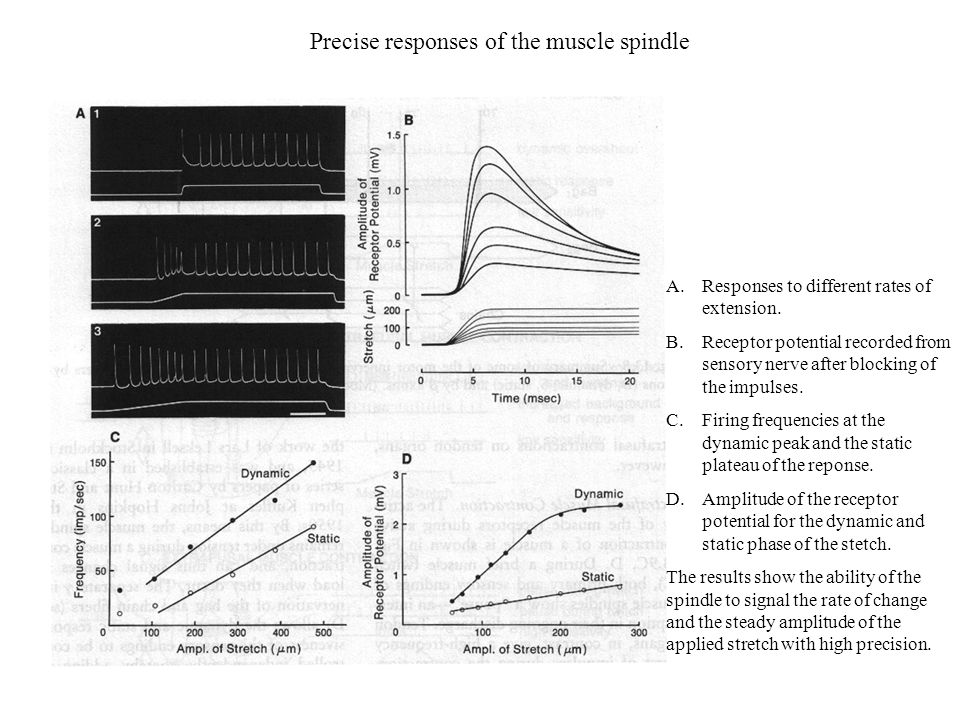 Precise responses of the muscle spindle A.Responses to different rates of extension. B.Receptor potential recorded from sensory nerve after blocking o