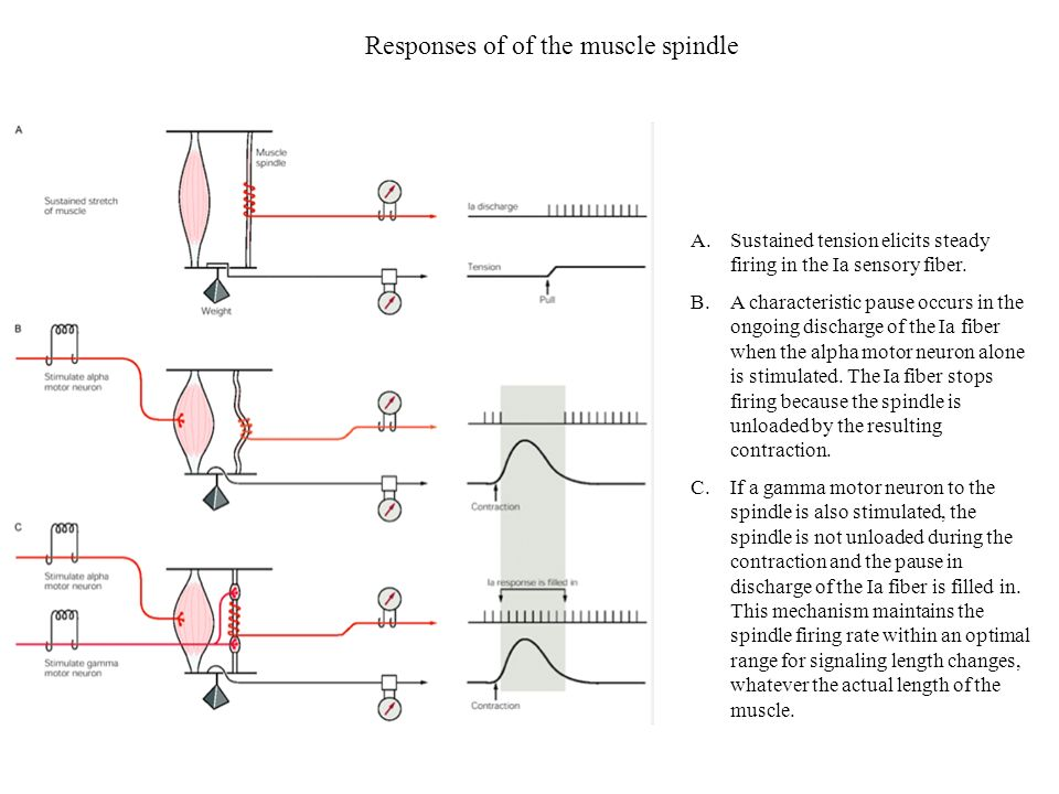 Responses of of the muscle spindle A.Sustained tension elicits steady firing in the Ia sensory fiber. B.A characteristic pause occurs in the ongoing d