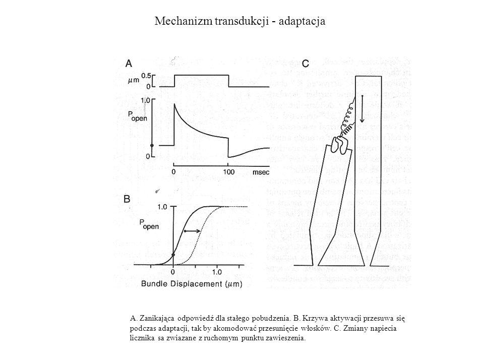 Mechanizm transdukcji - adaptacja A. Zanikająca odpowiedź dla stałego pobudzenia. B. Krzywa aktywacji przesuwa się podczas adaptacji, tak by akomodowa