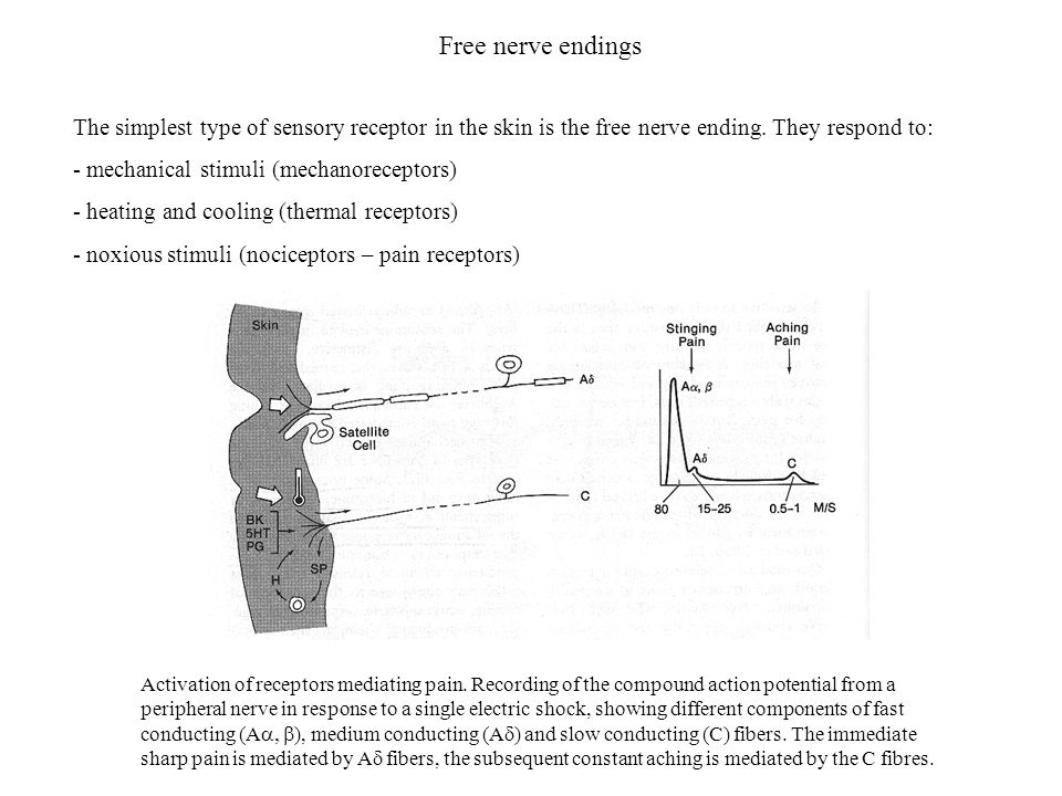 Free nerve endings The simplest type of sensory receptor in the skin is the free nerve ending. They respond to: - mechanical stimuli (mechanoreceptors