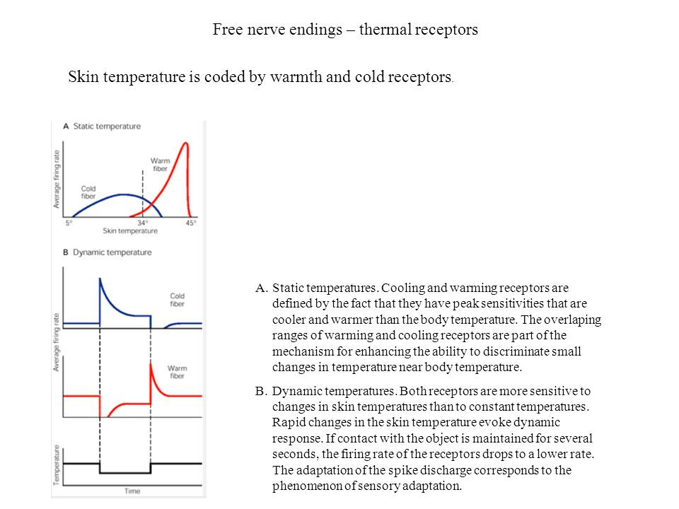 Free nerve endings – thermal receptors A.Static temperatures. Cooling and warming receptors are defined by the fact that they have peak sensitivities