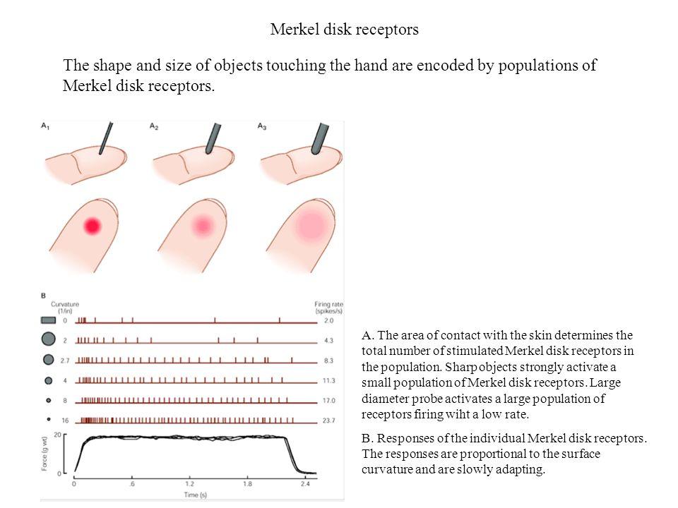Rzęski i łączniki Rzęski komórek włoskowatych tworzą pęczek na szczycie komórki.