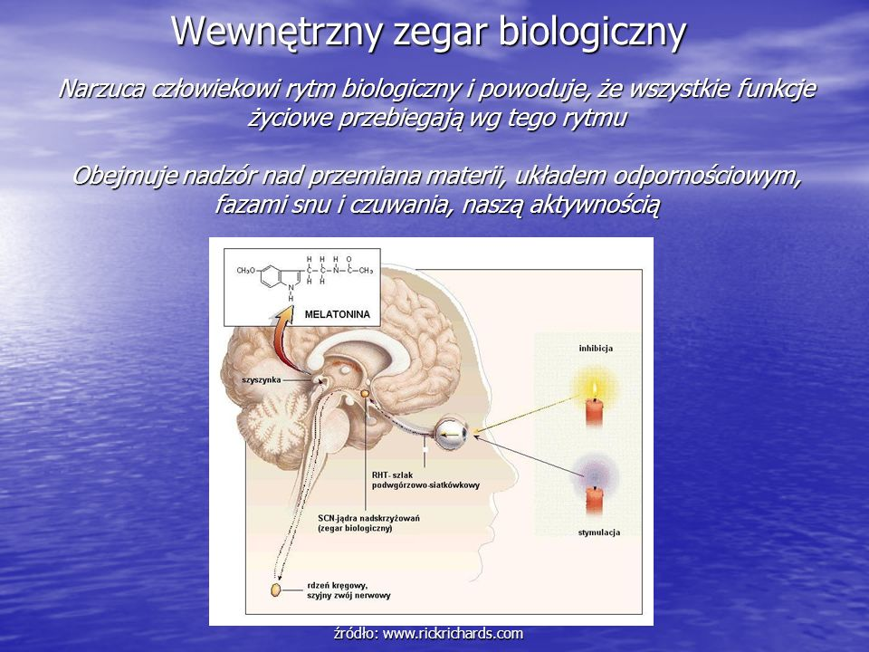 Wewnętrzny zegar biologiczny źródło: www.rickrichards.com Narzuca człowiekowi rytm biologiczny i powoduje, że wszystkie funkcje życiowe przebiegają wg