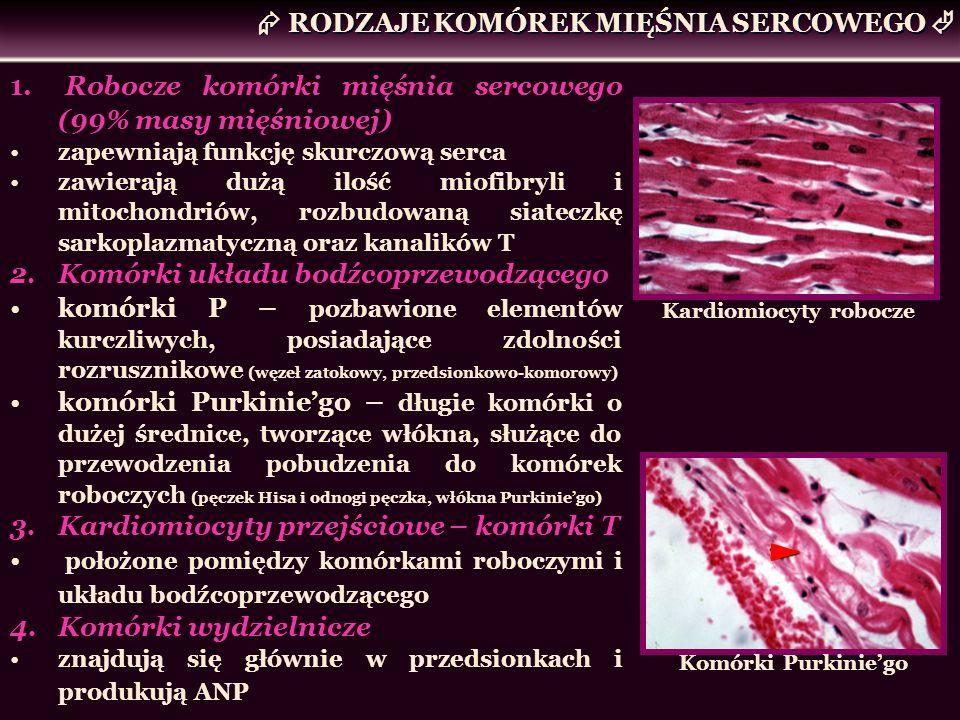 1. Robocze komórki mięśnia sercowego (99% masy mięśniowej) zapewniają funkcję skurczową serca zawierają dużą ilość miofibryli i mitochondriów, rozbudo