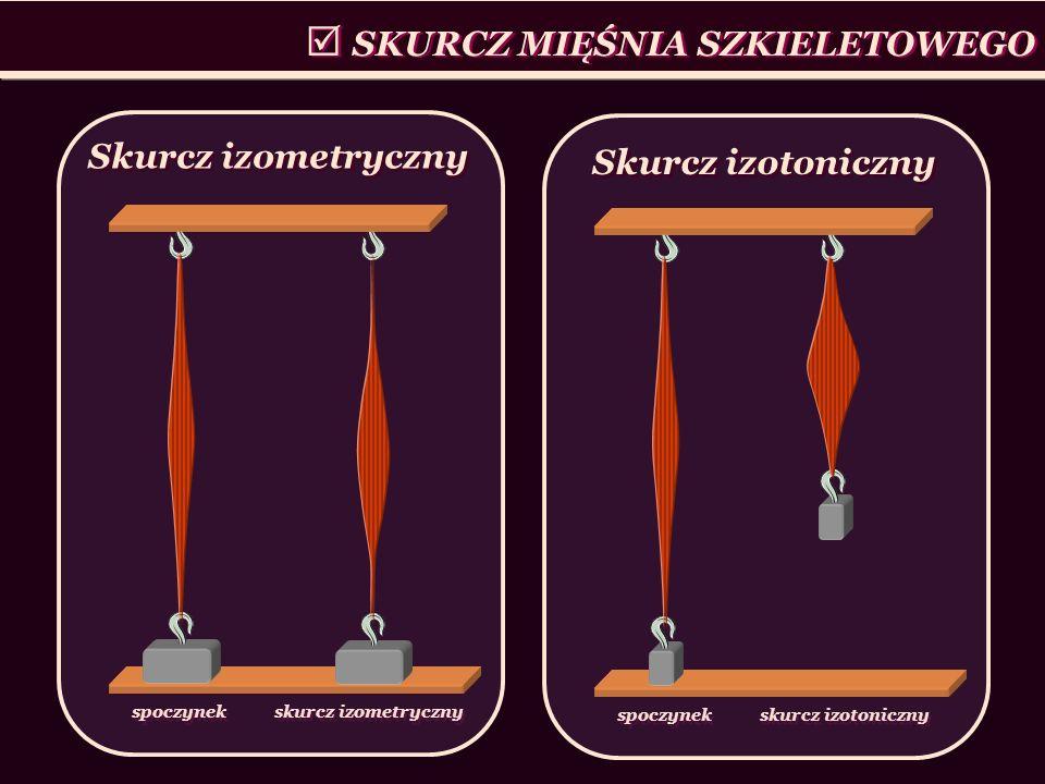 SKURCZ MIĘŚNIA SZKIELETOWEGO spoczynek skurcz izotoniczny Skurcz izotoniczny spoczynek skurcz izometryczny Skurcz izometryczny