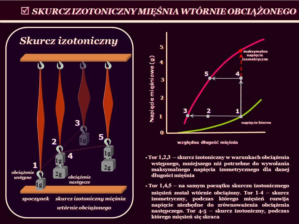 SKURCZ IZOTONICZNY MIĘŚNIA WTÓRNIE OBCIĄŻONEGO 1g spoczynek skurcz izotoniczny mięśnia wtórnie obciążonego spoczynek skurcz izotoniczny mięśnia wtórni