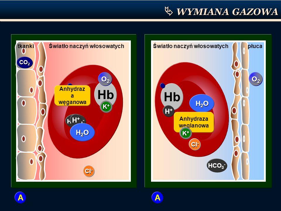 Hb HCO 3 - H+H+ CO 2 H2OH2OH2OH2O H 2 CO 3 Anhydraz a węganowa Cl - tkankiŚwiatło naczyń włosowatych Hb HCO 3 - H+H+ CO 2 H2OH2OH2OH2O H 2 CO 3 Anhydr