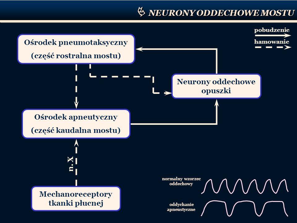 NEURONY ODDECHOWE MOSTU normalny wzorzec oddechowy oddychanie apneustyczne Ośrodek apneutyczny (część kaudalna mostu) Neurony oddechowe opuszki n. X M