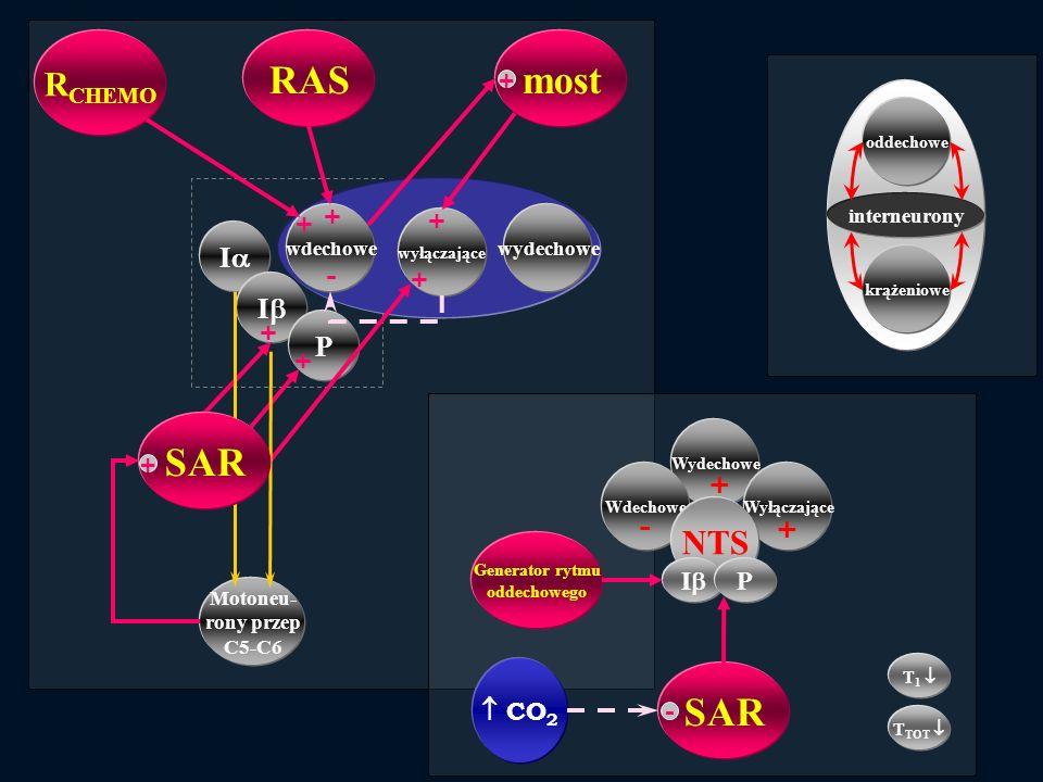 Wydechowe WdechoweWyłączające Motoneu- rony przep C5-C6 wdechowe wyłączające wydechowe I I P R CHEMO mostRAS + + + + - + + + SAR + NTS I P Generator r