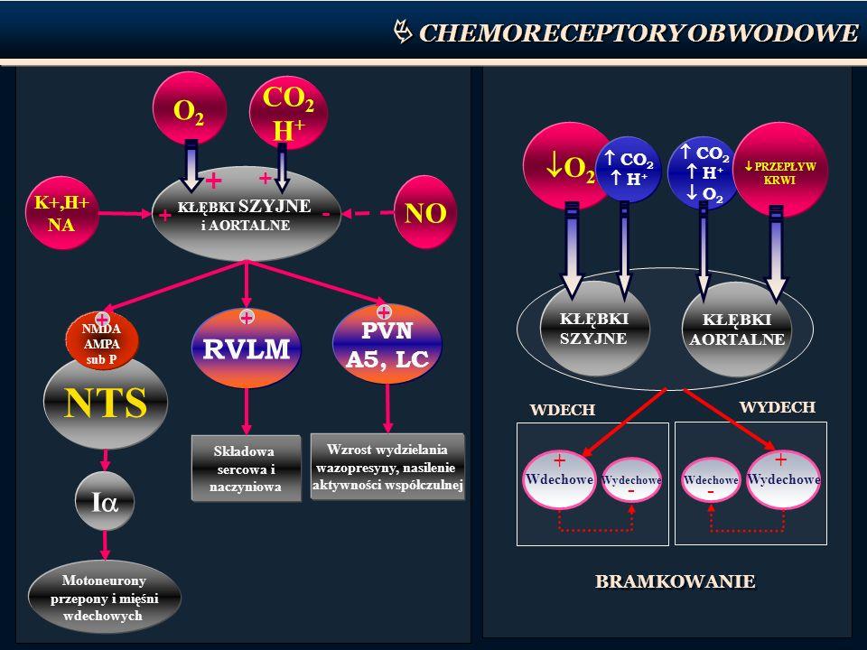 KŁĘBKI SZYJNE i AORTALNE NO K+,H+ NA + - O2O2 CO 2 H + + + NTS NMDA AMPA sub P I Motoneurony przepony i mięśni wdechowych RVLM PVN A5, LC Składowa ser
