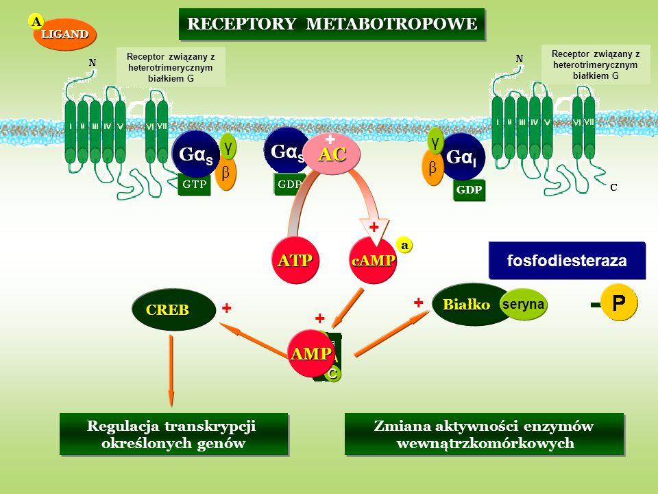 GDP RECEPTORY METABOTROPOWE GαIGαI β γ β γ GαSGαS cAMP C C AC Białko seryna Zmiana aktywności enzymów wewnątrzkomórkowych Zmiana aktywności enzymów we