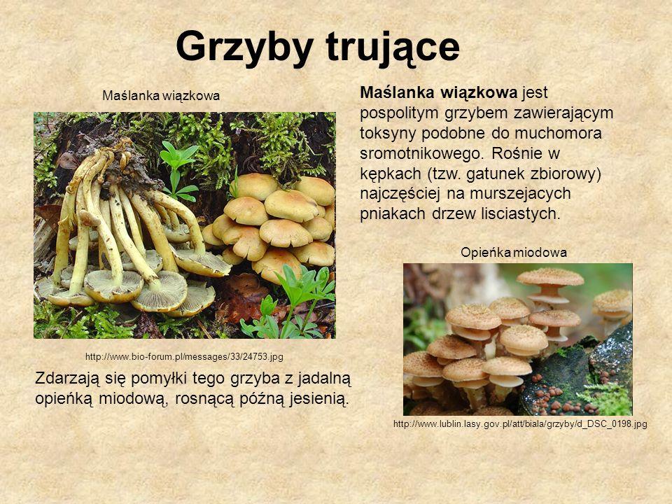 http://www.bio-forum.pl/messages/33/24753.jpg http://www.lublin.lasy.gov.pl/att/biala/grzyby/d_DSC_0198.jpg Maślanka wiązkowa jest pospolitym grzybem
