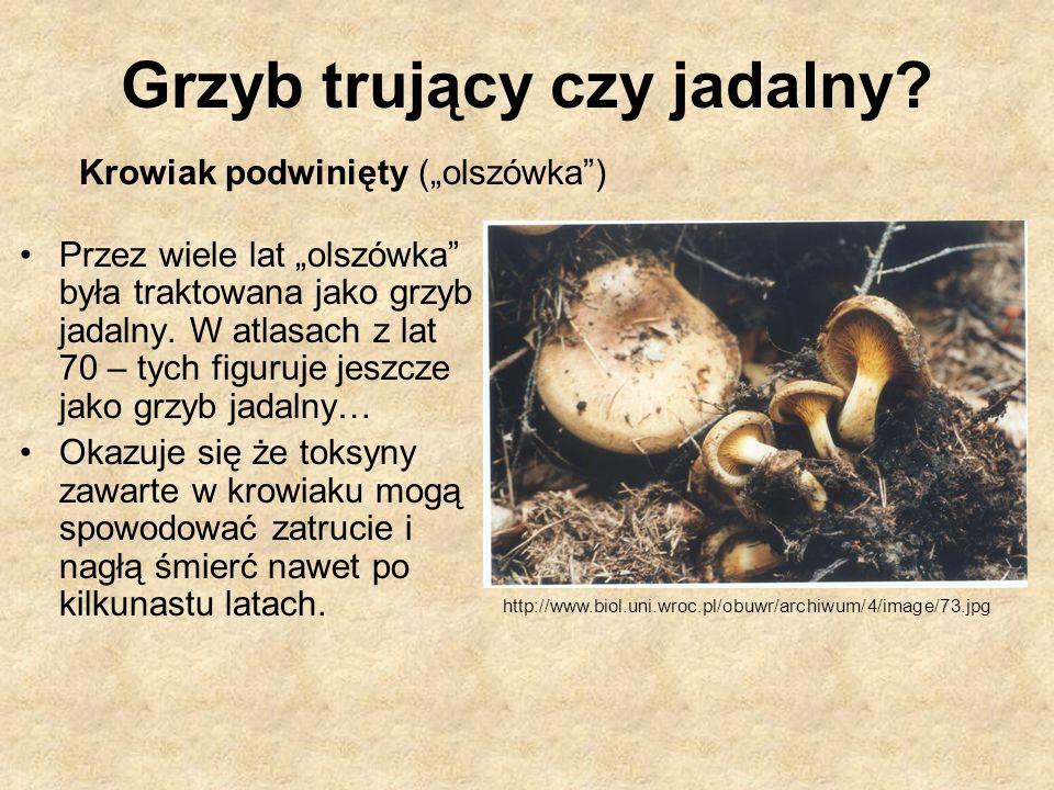 Krowiak podwinięty (olszówka) Przez wiele lat olszówka była traktowana jako grzyb jadalny. W atlasach z lat 70 – tych figuruje jeszcze jako grzyb jada