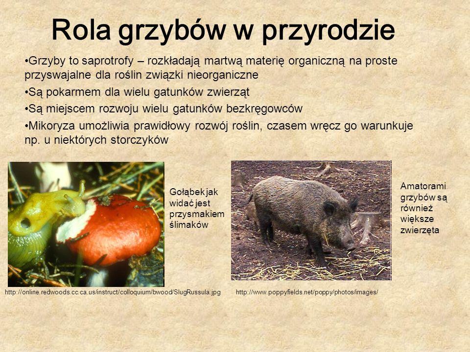 Rola grzybów w przyrodzie Grzyby to saprotrofy – rozkładają martwą materię organiczną na proste przyswajalne dla roślin związki nieorganiczne Są pokar