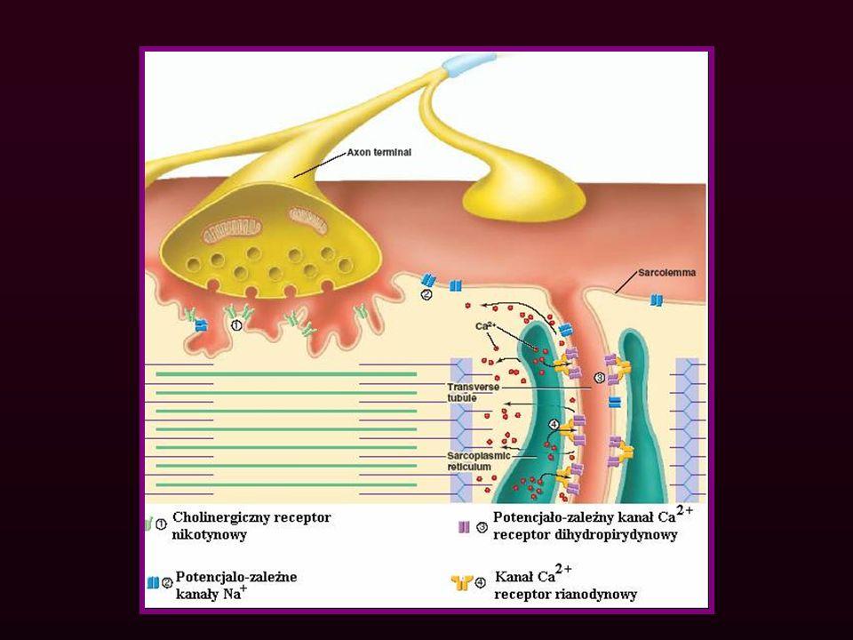 SIATECZKA SARKOPLAZMATYCZNA Część zbiornikowa SS Część cewkowa SS zawiera Ca 2+ ATP-azę Ca 2+ Ca 2+ L Ca 2+ Ca 2+ -kalsekwestrina Ca 2+ Stopkę łączącą stanowią: - kanał Ca 2+ zbiornika końcowego SS (receptor rianodynowy) - 4 kanały Ca 2+ (receptor dihydropirydynowy) - białko JFP ( białko wiążące stopki) Stopkę łączącą stanowią: - kanał Ca 2+ zbiornika końcowego SS (receptor rianodynowy) - 4 kanały Ca 2+ (receptor dihydropirydynowy) - białko JFP ( białko wiążące stopki) Stopka łącząca JFP Ca 2+ -kalsekwestrina