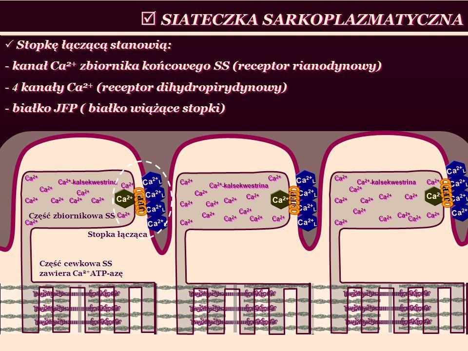 SIATECZKA SARKOPLAZMATYCZNA Część zbiornikowa SS Część cewkowa SS zawiera Ca 2+ ATP-azę Ca 2+ Ca 2+ L Ca 2+ Ca 2+ -kalsekwestrina Ca 2+ Stopkę łączącą