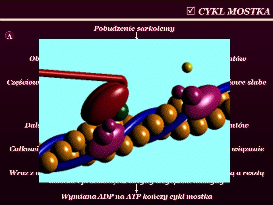 CYKL MOSTKA Pobudzenie sarkolemy Wzrost stężenia Ca 2+ w sarkoplazmie Obrót polimerów tropomiozynowych o 25 ° wokół filamentów aktynowych Częściowe od