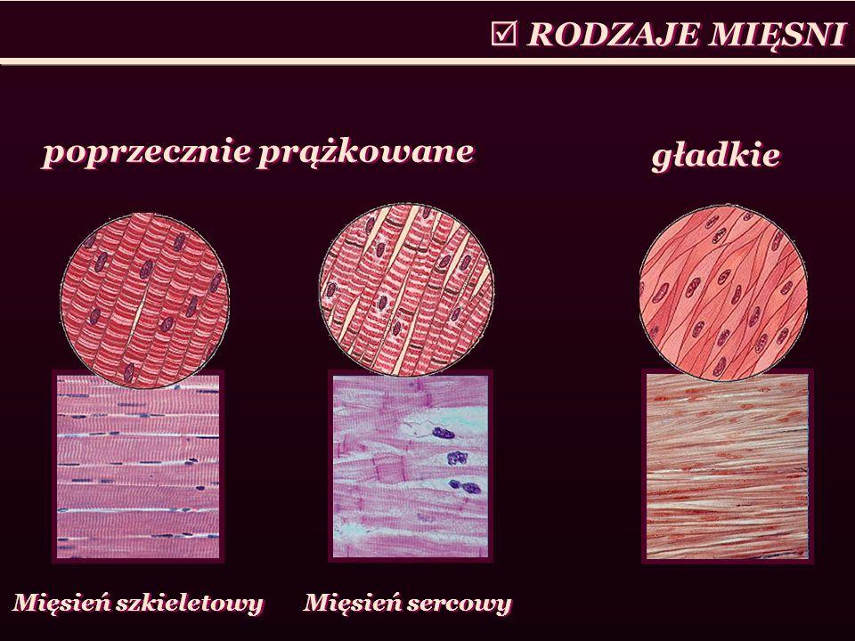 RODZAJE MIĘSNI poprzecznie prążkowane gładkie Mięsień szkieletowy Mięsień sercowy