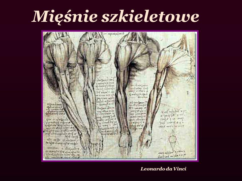 Mięśnie szkieletowe Leonardo da Vinci