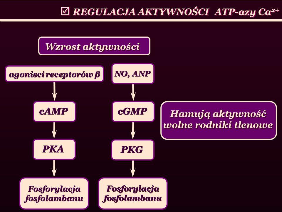 REGULACJA AKTYWNOŚCI ATP-azy Ca 2+ Wzrost aktywności Hamują aktywność wolne rodniki tlenowe agonisci receptorów β cAMP PKA Fosforylacja fosfolambanu N